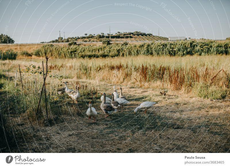 Gänseherde auf dem Feld Schwarm Vogelschwarm Hausgans Gänsevögel Nutztier Bauernhof Tierporträt Menschenleer fliegen Natur Farbfoto Außenaufnahme Freiheit