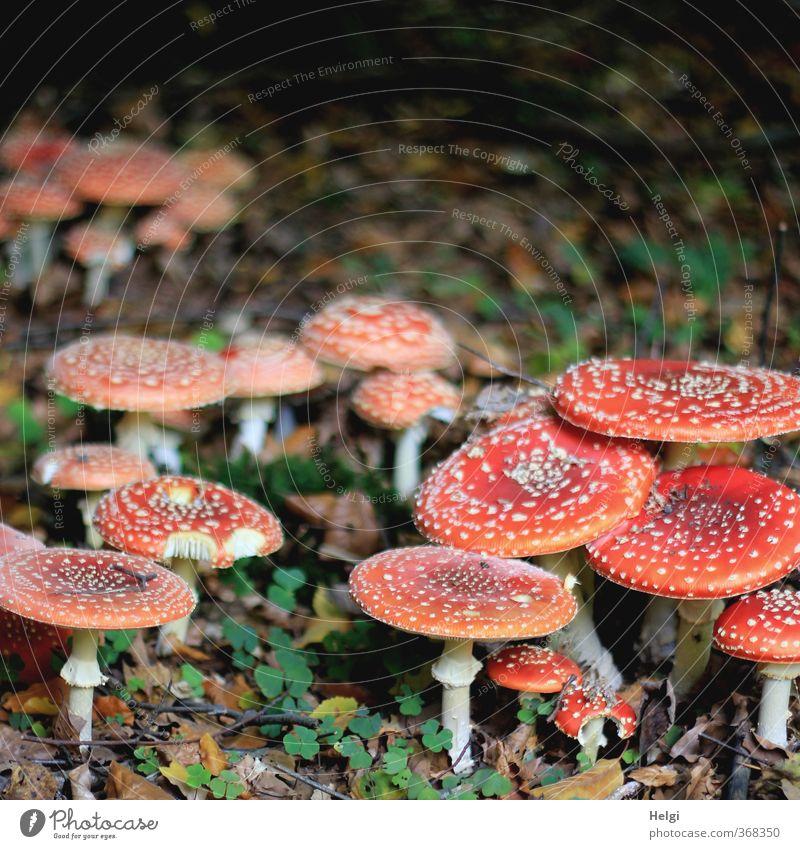 Großfamilie... Umwelt Natur Herbst Pilz Fliegenpilz Wald stehen Wachstum ästhetisch authentisch außergewöhnlich natürlich rund grau grün rot weiß standhaft