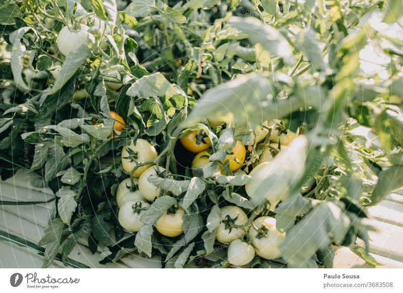 Tomatenpflanze mit Früchten Tomatenplantage Bioprodukte Biologische Landwirtschaft Ackerbau Nutzpflanze Menschenleer Garten Außenaufnahme Vegetarische Ernährung
