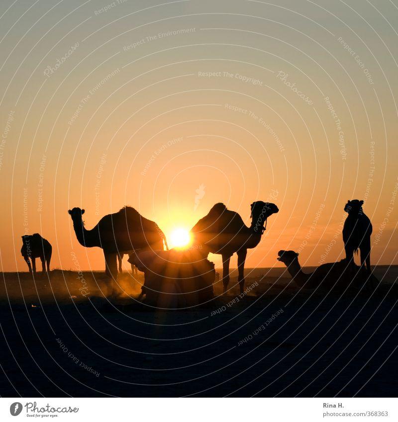 Demut II Mensch Himmel Natur Mann Ferien & Urlaub & Reisen ruhig Tier Erwachsene Ferne Arbeit & Erwerbstätigkeit Schönes Wetter Tiergruppe Abenteuer Wüste Gelassenheit Wolkenloser Himmel
