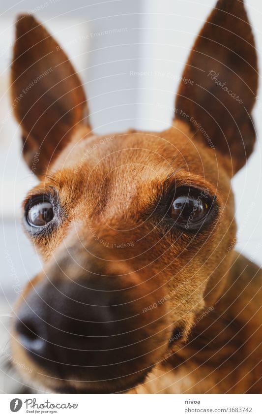 Rehpinscher close-up Zwergpinscher Hund Close Up Schnauze braun Ohren Tiergesicht klein Haustier Tierliebe Freundschaft Tierporträt Blick Farbfoto 1 beobachten