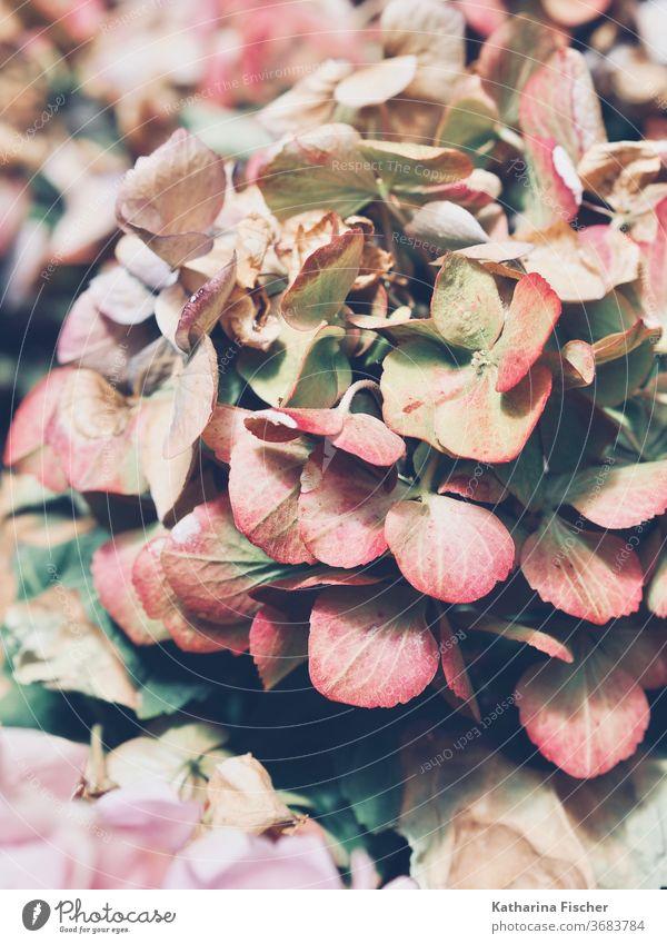 Hortensie Pflanze Farbfoto Hortensienblüte Natur Blume Nahaufnahme Makroaufnahme Detailaufnahme Außenaufnahme Garten schön Sommer Gartenpflanzen natürlich