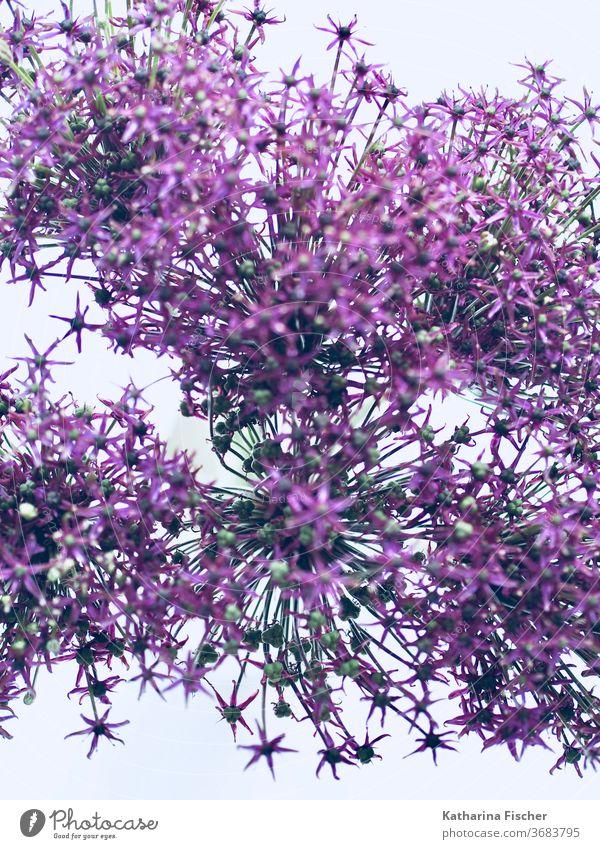 Allium Allium giganteum Natur Farbfoto violett Nahaufnahme Blühend Lauch Tag Blumen Zierknoblauch schön Makroaufnahme ästhetisch Dekoration & Verzierung