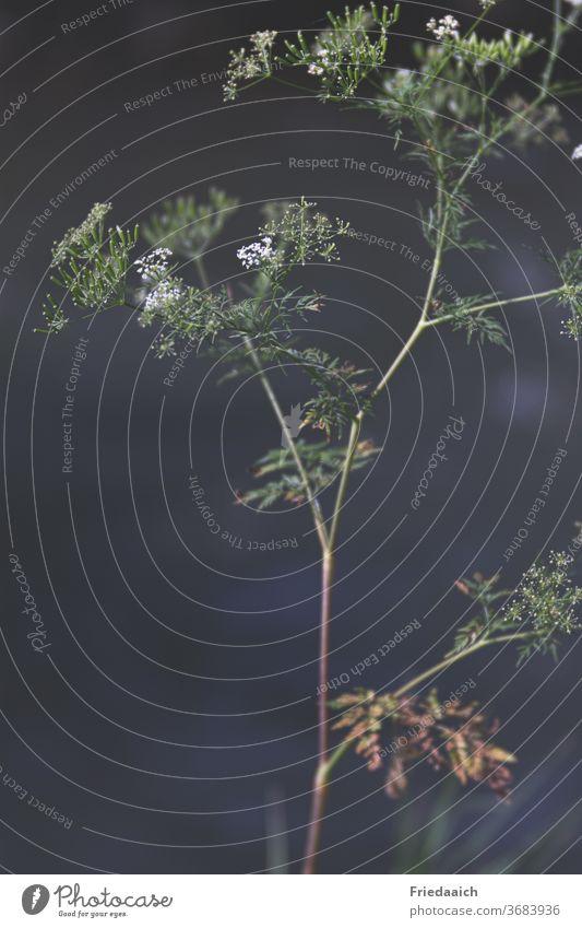 Wiesenkerbel im Abendlicht Pflanze zart Natur Makroaufnahme Schwache Tiefenschärfe Blüte Menschenleer
