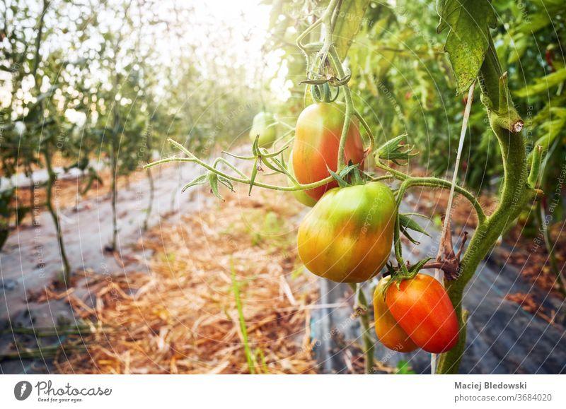 Reifung von Bio-Tomaten in einem Gewächshaus gegen die Sonne. Gemüse Bauernhof reifen Ackerbau Lebensmittel organisch Gartenbau Wachstum grün frisch Natur