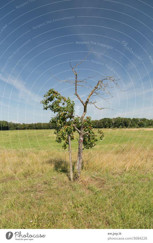 Gegensätze | Leben und Sterben oder halbtot..... Baum Apfelbaum Bäumchen Halbtot Tod Kahl Krank Obstbaum Wiese Gras Feld Waldrand Himmel Schönes Wetter Pflanze