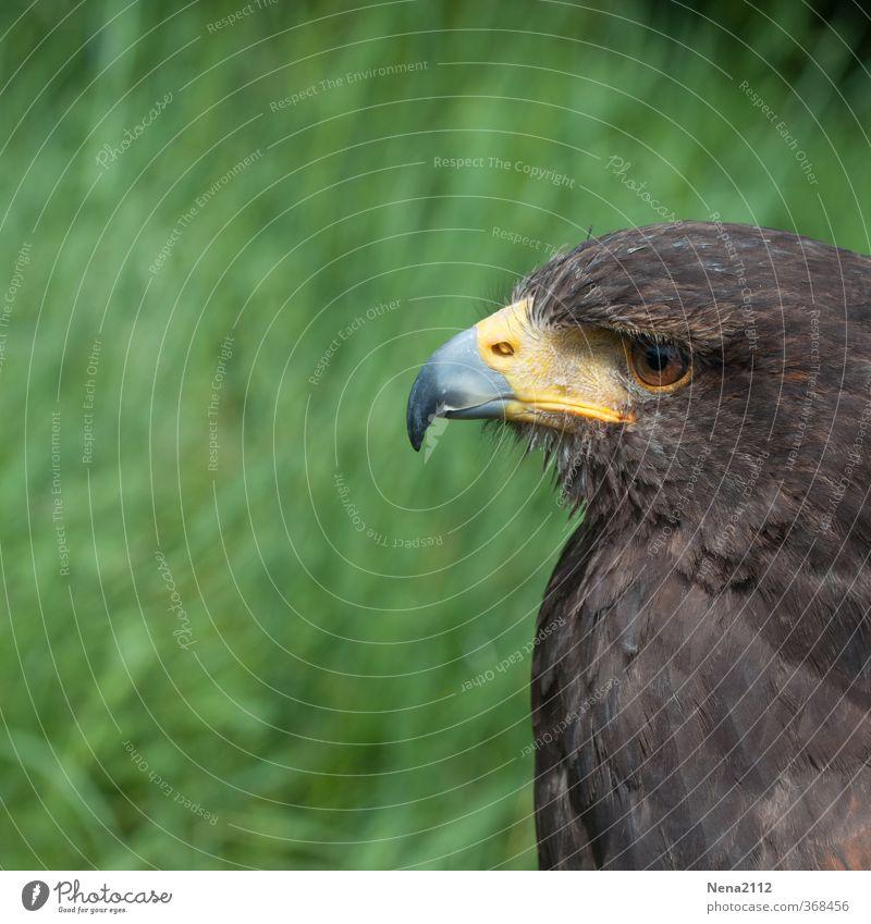 muss ja. Umwelt Natur Vogel Tiergesicht 1 beobachten Blick warten Aggression ästhetisch braun Tierliebe geduldig Greifvogel Schnabel Auge Feder Bussard