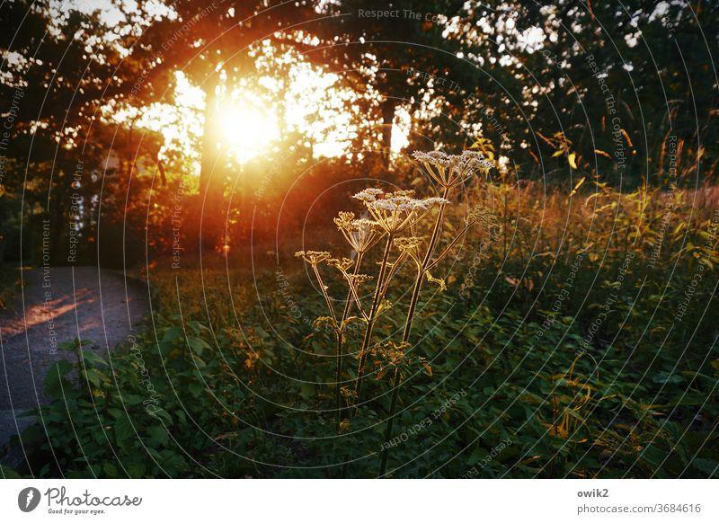 Abendgruß Umwelt Natur Pflanze Sonnenlicht Tag Menschenleer Sträucher Wildpflanze Detailaufnahme leuchten Farbfoto Außenaufnahme Nahaufnahme Wetter