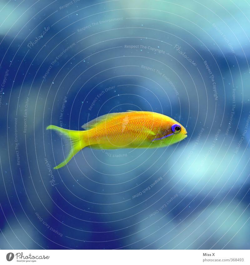 kleiner Gelber Riff Korallenriff Meer Tier Fisch Aquarium 1 Schwimmen & Baden gelb Fahnenbarsch Barsch Wasser Farbfoto mehrfarbig Unterwasseraufnahme