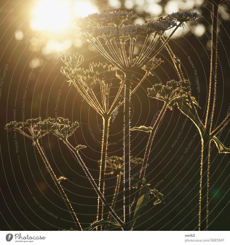 Schafgarbe Gegenlicht Leuchtkraft Landschaft Frühling Wiese Duft genießen Textfreiraum unten Zufriedenheit Lebensfreude wild glänzend Wachstum Schatten Klima