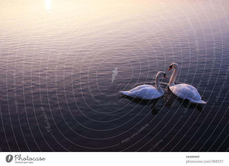 Schwanensee Wasser Sonnenaufgang Sonnenuntergang Tierpaar beobachten genießen Schwimmen & Baden warten ästhetisch frei Zusammensein schön Kitsch Sauberkeit blau
