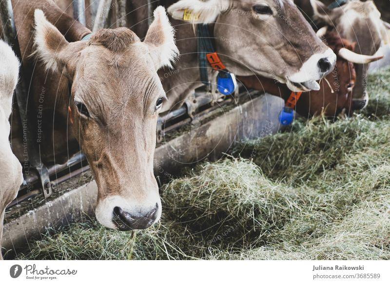 Kühe im Stall bei der Fütterung Kalb Kuh Tier Außenaufnahme Nutztier braun Tag Rind Horn Fell Tierporträt Gras Natur Blick in die Kamera Neugier Landwirtschaft