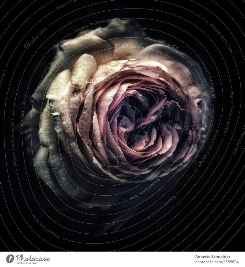 Englische Rose Blume rosa Nahaufnahme Menschenleer Außenaufnahme Blühend Sommer Duft Natur Romantik Rosenblüte Pflanze Detailaufnahme Farbfoto Garten ästhetisch