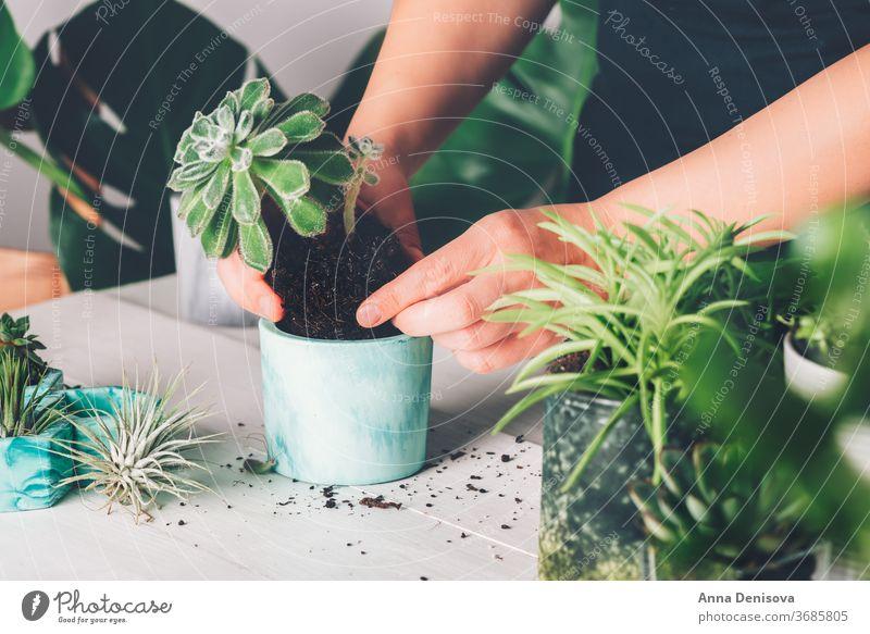 Frau pflanzt Sukkulente in den neuen Übertopf Fensterblätter Pflanzer Topf Innenbereich Haus Gartenarbeit diy Kakteen Hände Murmel Einfluss Zimmerpflanze