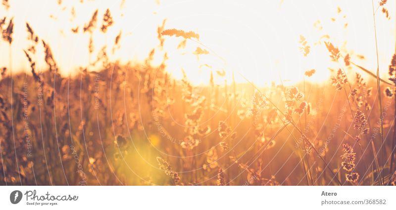 Summerdream Landschaft Sonnenaufgang Sonnenuntergang Schönes Wetter Wildpflanze Wiese Feld Stimmung Warmherzigkeit Gelassenheit ruhig Sehnsucht Farbfoto