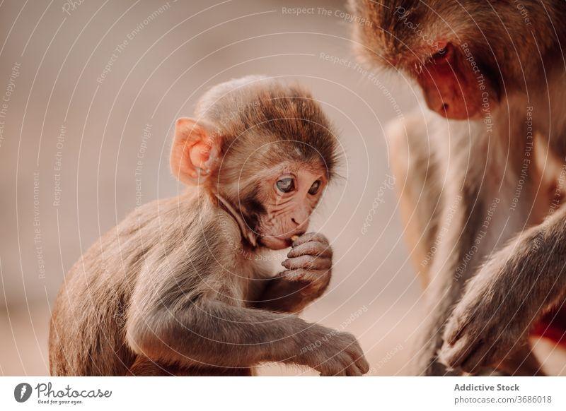 Kleines Affenbaby mit Affenmama Makake Rhesus Baby Mutter Macaca mulatta Tier Natur niedlich Mama wenig klein Indien wild Primas Tierwelt Umwelt Säugetier Fauna