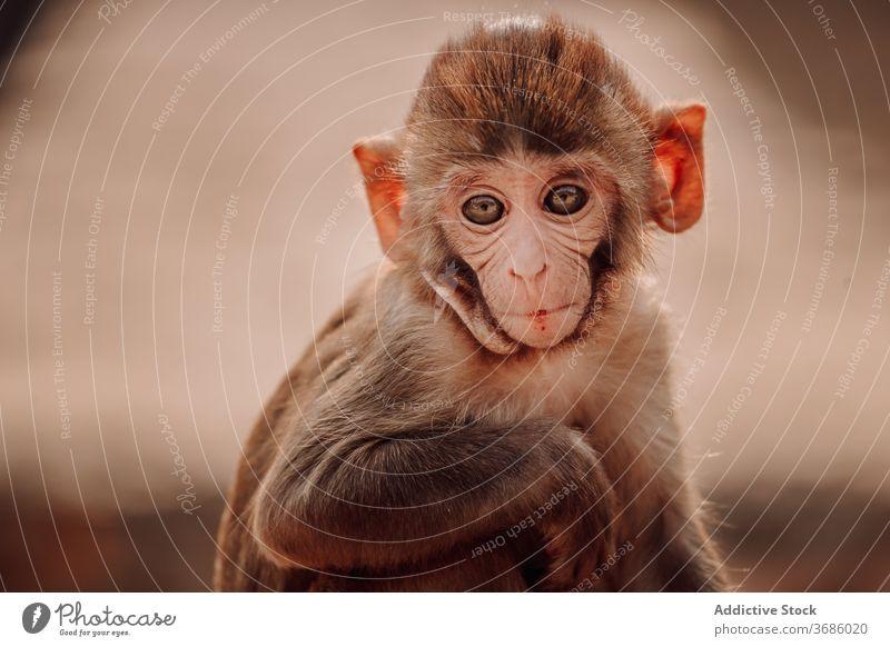 Kleines Affenbaby in der Natur Makake Rhesus Macaca mulatta Baby Tier Säugling wenig niedlich klein Indien wild Primas Tierwelt Umwelt Säugetier Fauna Kind