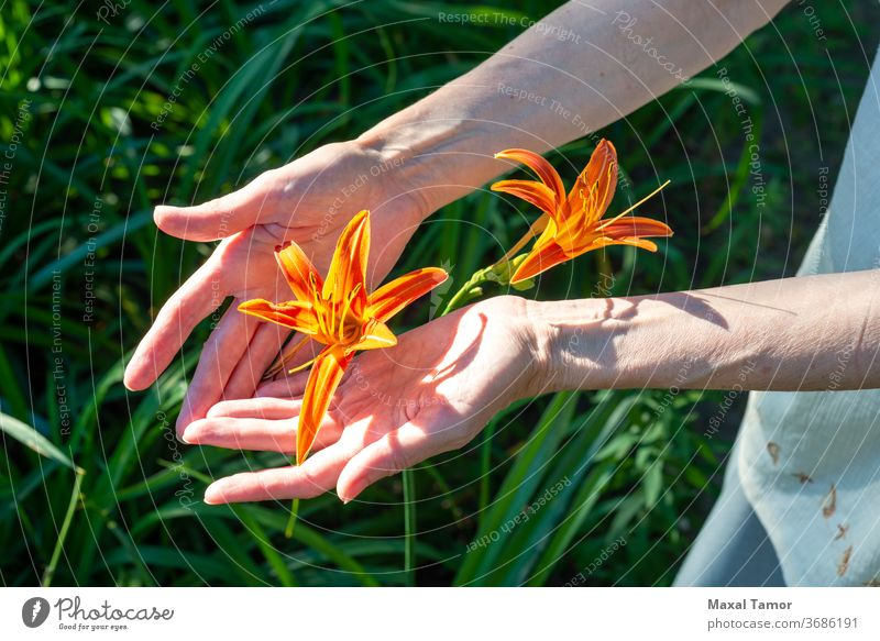 Frauenhände halten eine orangefarbene Lilienblüte Aroma schön Schönheit Körperteile Botanik Pflege Nahaufnahme concepl Textfreiraum copyspace Tag filigran