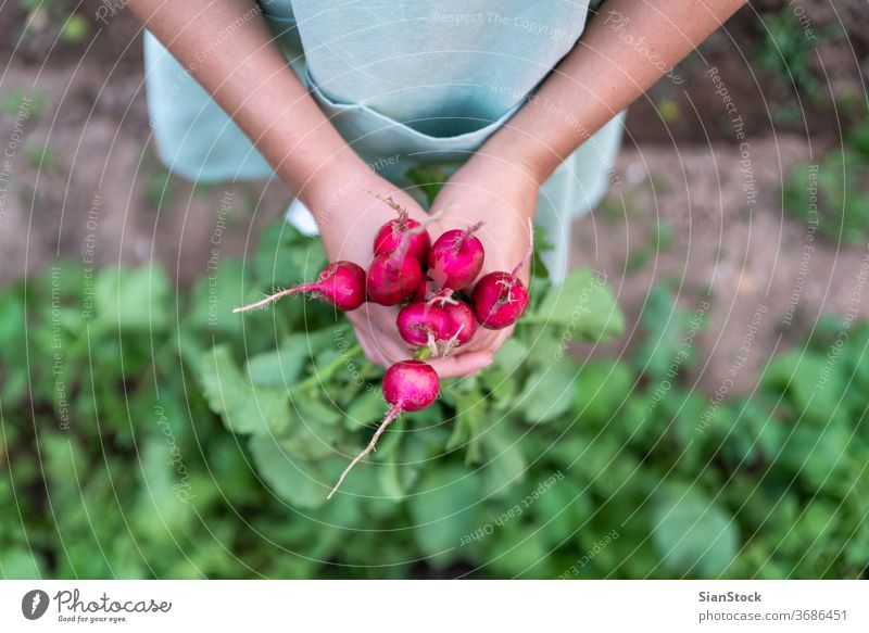 Junge Frau im Garten hält Radieschen. grün Ernte frisch Haufen Wachstum Schürze Pflanze Gesundheit Vitamin Lebensmittel Kommissionierung Blatt roh Natur Hand