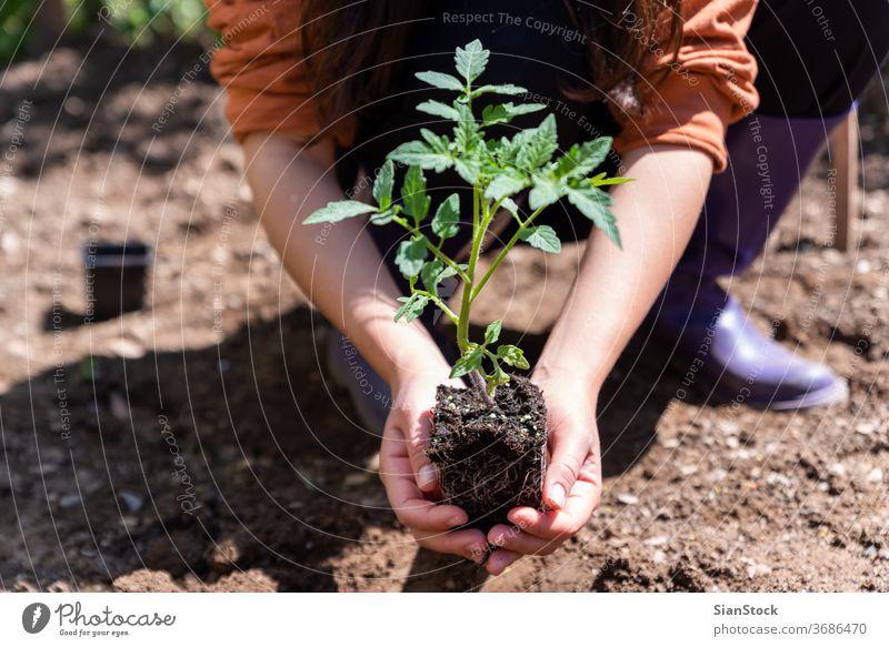 Frau pflanzt im Garten junge Tomaten an. Wachstum Erde Schmutz Natur sprießen grün Hand Landwirtschaft Frühling Hände Ackerbau Boden Gartenarbeit Nahaufnahme