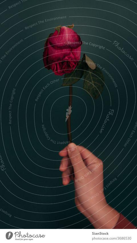 Frauenhand hält eine getrocknete rote Rose vor grünem Hintergrund. Roséwein trocknen Hand Blume schön natürlich Geschenk Blatt Natur Blüte Blütenblatt Konzept