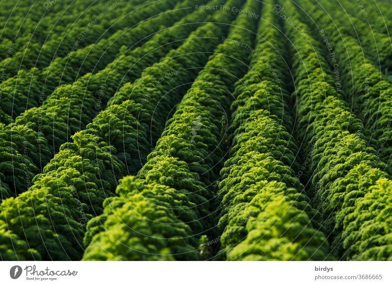 Ein Grünkohlfeld, Reihen von erntereifem Grünkohl, formatfüllend Gemüse Landwirtschaft Kohl Gemüseanbau regionale Produkte frisch Gesunde Ernährung
