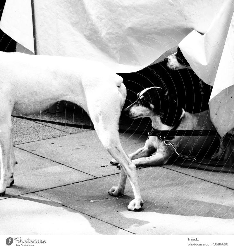 Drei angeleinte schwarz-weiße Hunde warten etwas angespannt auf Alpha. Tischdecke Café Bistro Gastronomie beobachten