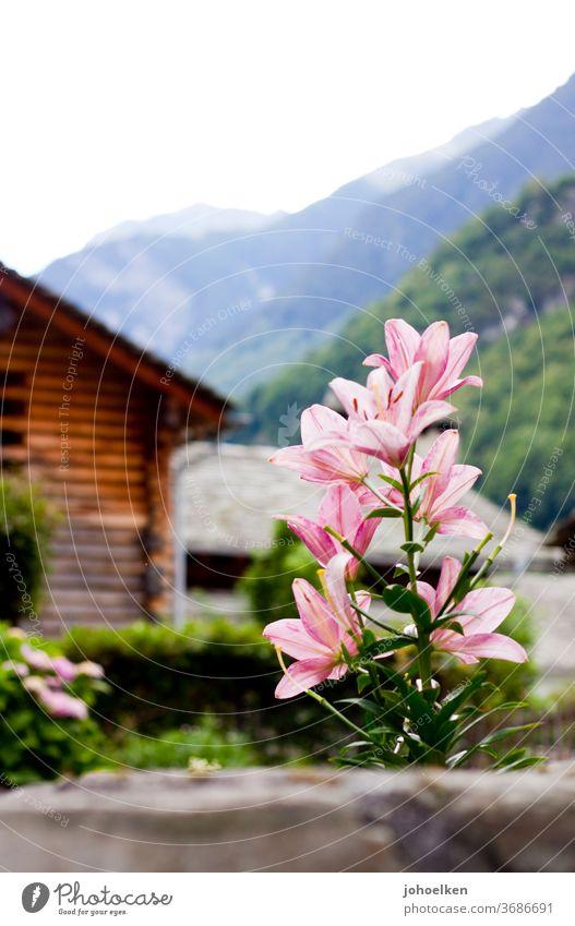 Lilie vor Alpenpanorama Lilien Lilienblüte Holzhütte Berge u. Gebirge Blume exotisch exotische Pflanzen grün rosa Menschenleer Textfreiraum oben Blüte Blühend
