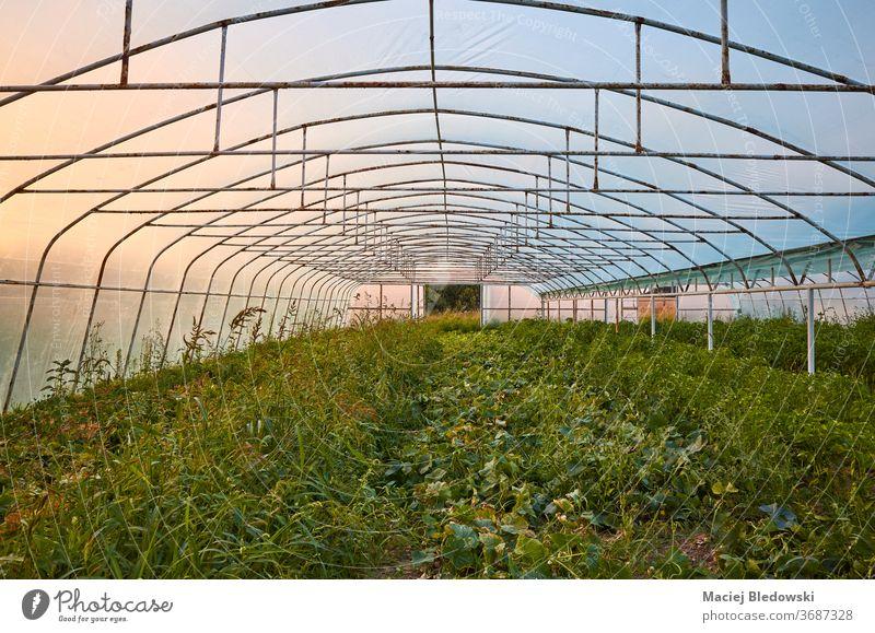 Das Innere eines alten Gewächshauses bei Sonnenuntergang. Gartenbau Natur Ackerbau Industrie Pflanze Gemüse organisch Kunststoff Sonnenaufgang im Inneren