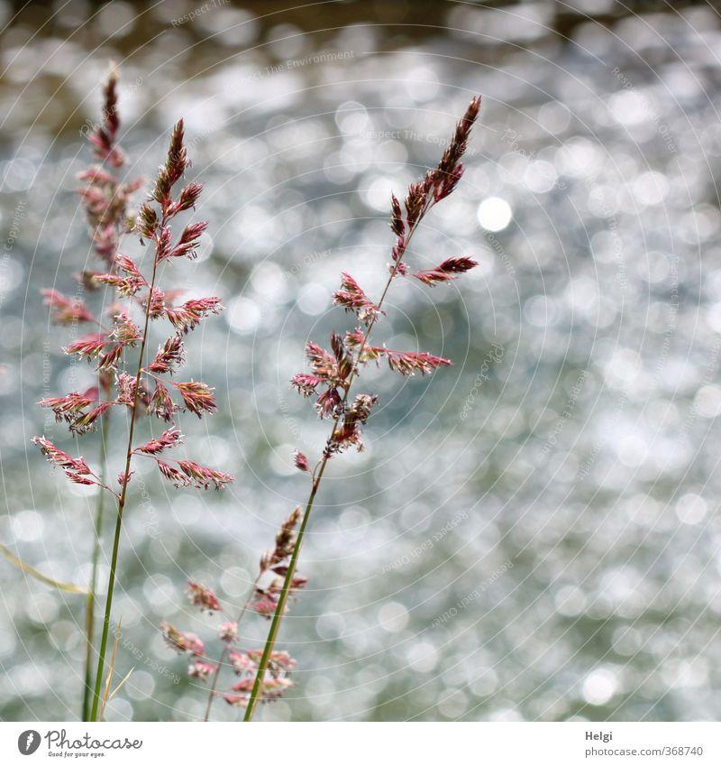 am Fluss... Natur grün weiß Sommer Pflanze Umwelt Gras grau natürlich außergewöhnlich braun Idylle glänzend Wachstum Schönes Wetter ästhetisch