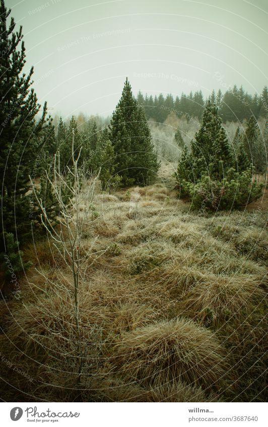 raureif im hochmoor Hochmoor Regenmoor Raureif Biotop Naturschutzgebiet Mothäuser Heide Moor Moorlehrpfad Stengelhaide Flora Nadelbäume Nadelwald November