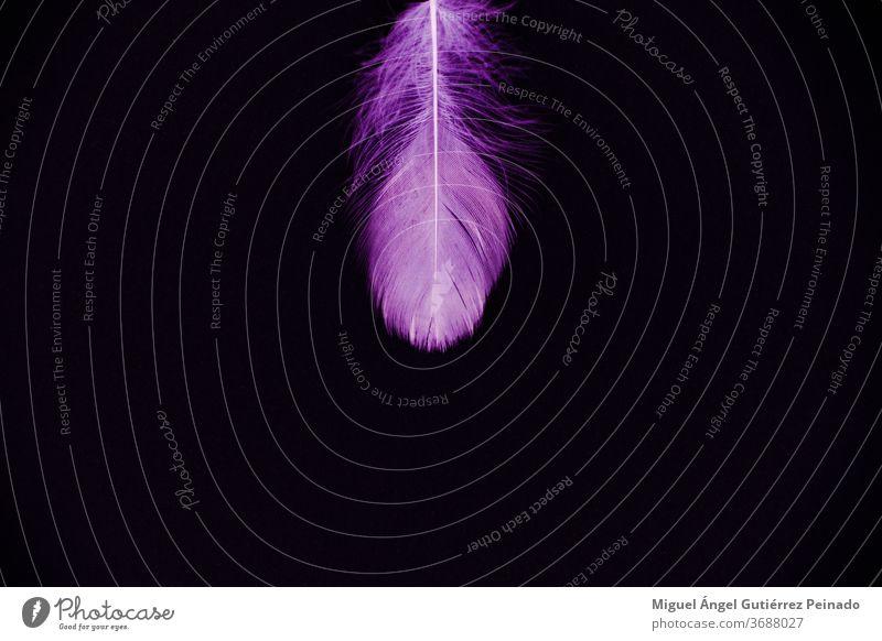 Violette Feder isoliert auf schwarzem Hintergrund - perfekt für Tapete purpur vereinzelt Natur Farbfoto Vogel schwarzer Hintergrund rosa schön Entwurf
