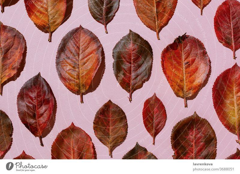 Rote Aroniablätter im Herbst auf pastellrosa Hintergrund fallen Blätter Laubwerk hell rot Blatt golden saisonbedingt Anklopfen Ordnung botanisch Draufsicht