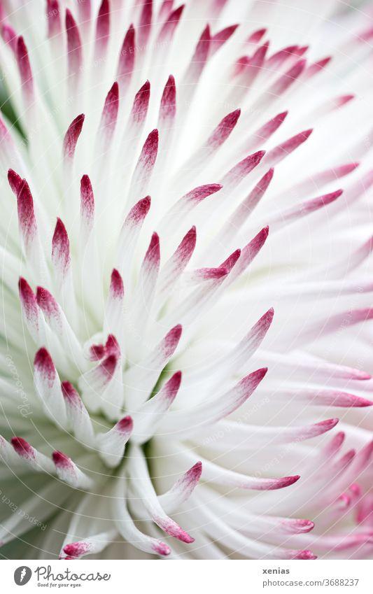 Makroaufnahme: weißes Gänseblümchen mit rosa Spitzen Bellis Blüte Blume Tausendschön Blühend Schwache Tiefenschärfe Frühling Natur Pflanze Frühlingsgefühle
