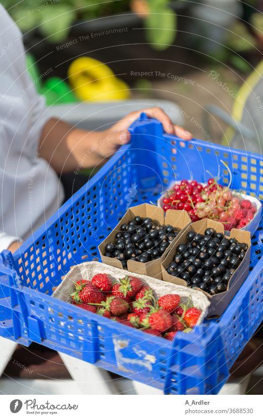 Ernte von Beerenfrüchten aus dem eigenen Garten Erdbeeren Johannisbeeren schwarze Johannisbeeren Himbeeren Fruchtzucker Blaubeeren Rohkost Sommer Sommerobst