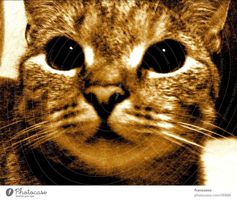 Emma Katze Haustier Sepia