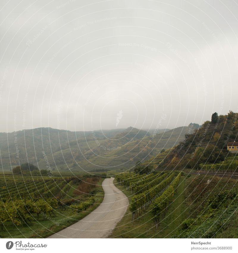 Schmale Straße zwischen Weinbergen Weinbau grün Menschenleer Herbst Landschaft Nebel Morgennebel Außenaufnahme Nutzpflanze Hügel Wachau Österreich