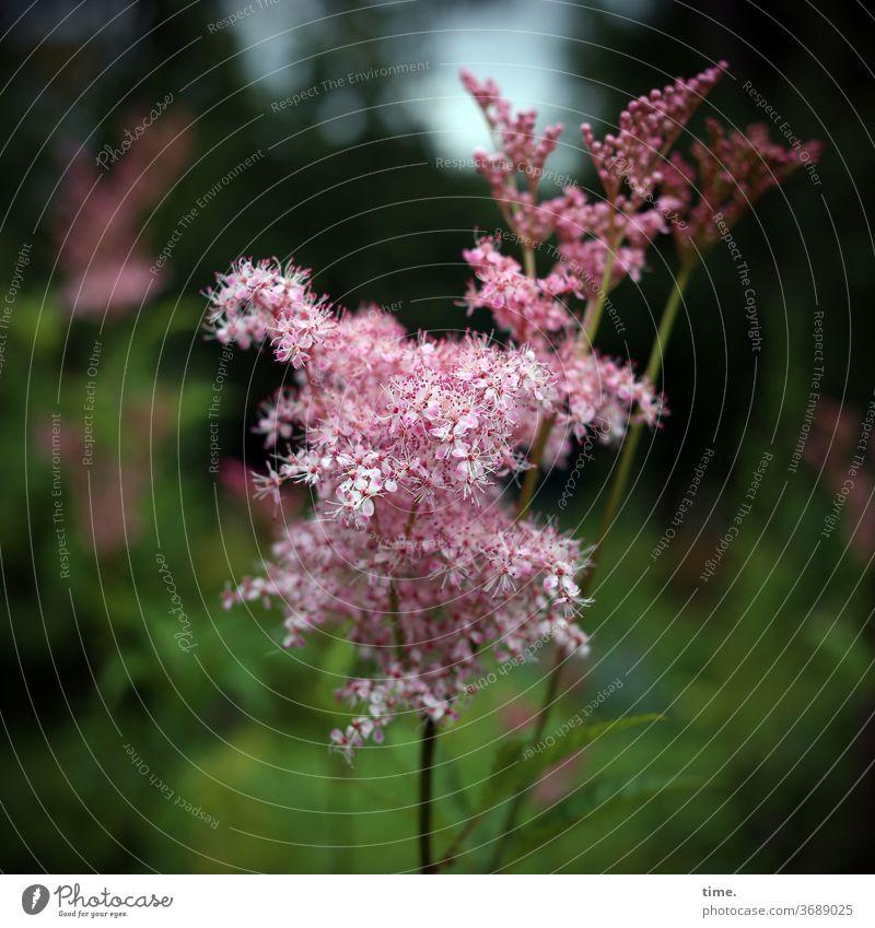 Engelfurz* pflanze filigran rosa garten luftig leicht Engelwurz Starke Tiefenschärfe Unschärfe Menschenleer Natur Perspektive Leichtigkeit Inspiration elegant