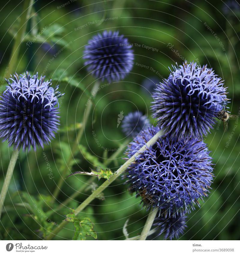 Erntezeit pflanze filigran garten luftig Starke Tiefenschärfe Unschärfe Menschenleer Natur Perspektive Leichtigkeit Inspiration natürlich Sommer kugeldistel