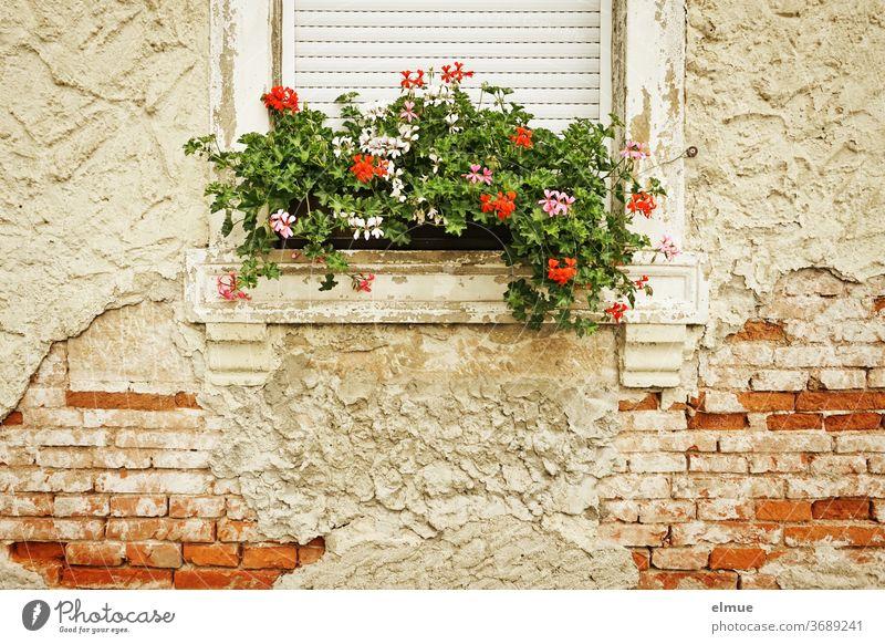 Die Fassade des alten Hauses bröckelt aber der Blumenkasten wird liebevoll gepflegt. Ziegelbau wohnen bröckeln Putz marode Altbau Fenster Architektur verfallen