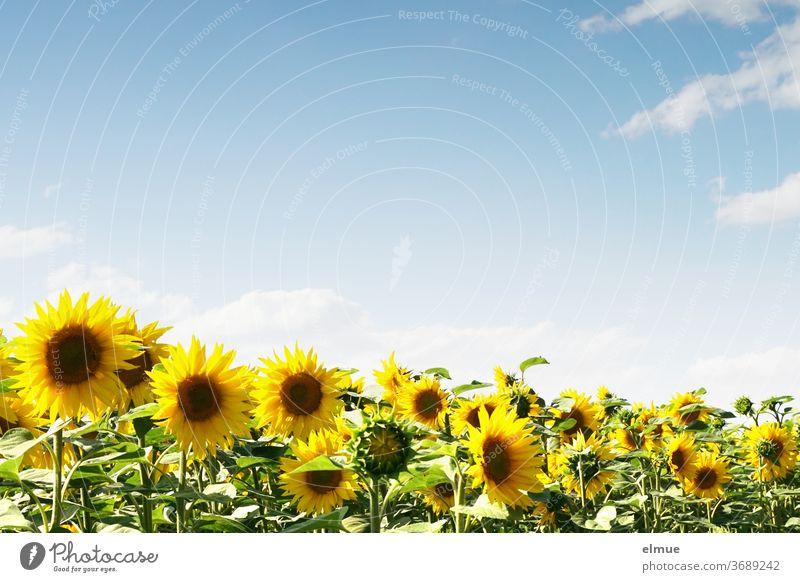 Sonnenblumenfeld und blauer Himmel mit Dekowolken und viel Textfreiraum himmelblau Pflanze Bienenfutter Feld Schönwetterwolke Blume Schönheit gelb Lichttherapie