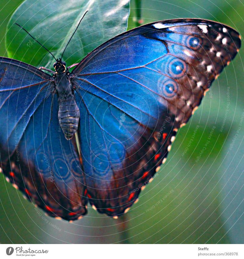 Blauer Morphofalter Natur blau Farbe Linie Kreis Flügel Schmetterling exotisch Symmetrie prächtig Farbverlauf Eyecatcher blau-grün Makroaufnahme mehrfarbig