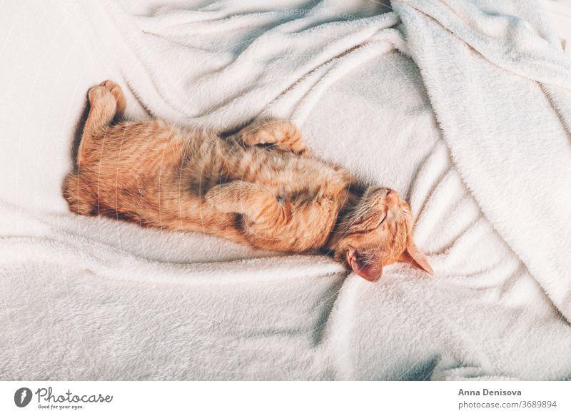 Süßes Ingwer-Kätzchen schläft Katzenbaby niedlich sich[Akk] entspannen auf der Rückseite Decke Haustier Baby heimwärts gemütlich Komfort aussruhen fluffig