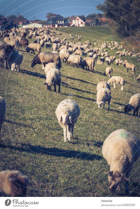 Schafe auf dem Deich Herde Hamburg Schafherde Landschaft Natur Außenaufnahme Weide Wiese Landwirtschaft Tiergruppe Menschenleer Nutztier Wolle Tierporträt
