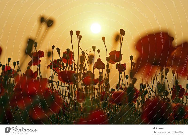 Mohnfeld Umwelt Natur Landschaft Pflanze Himmel Wolkenloser Himmel Sonne Sommer Blume Blüte Park Wiese Feld natürlich rot Mohnblüte Mohnkapsel Farbfoto