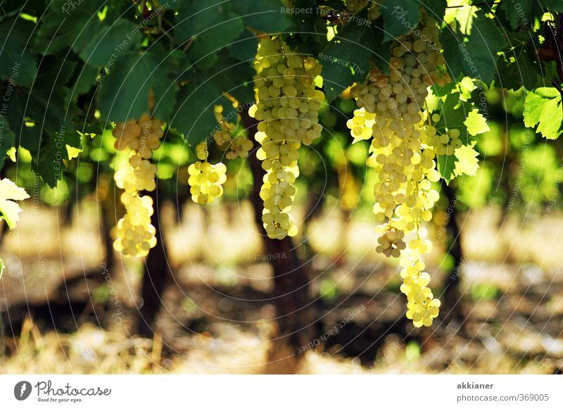 Weintrauben Umwelt Natur Pflanze Sommer Nutzpflanze Feld hell natürlich grün Weinberg Farbfoto mehrfarbig Außenaufnahme Menschenleer Tag Licht Sonnenlicht
