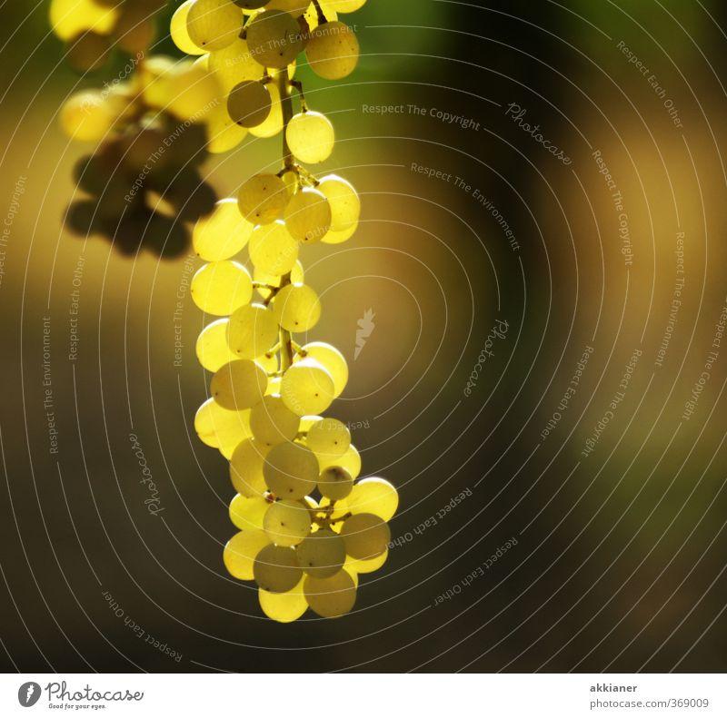 Trauben Umwelt Natur Pflanze Sommer Nutzpflanze hell Weintrauben Farbfoto mehrfarbig Außenaufnahme Textfreiraum rechts Tag Licht Sonnenlicht