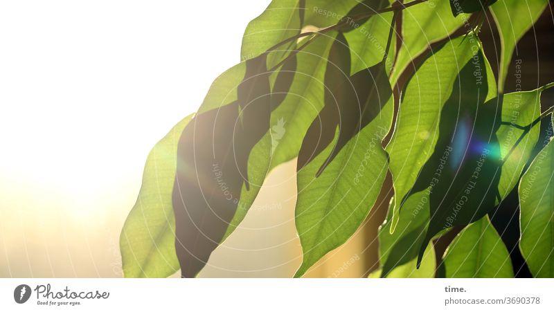 Rampenlicht pflanze Menschenleer Natur Perspektive Inspiration natürlich grün blatt schatten sonnig sonnenlicht birkenfeige Ficus benjamina gegenlicht
