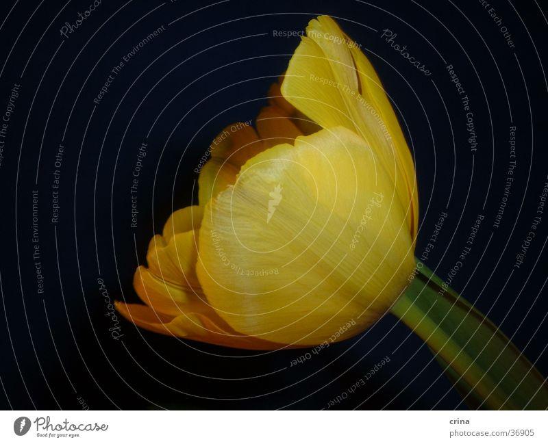 Portrait in gelb grün schwarz Blüte Tulpe