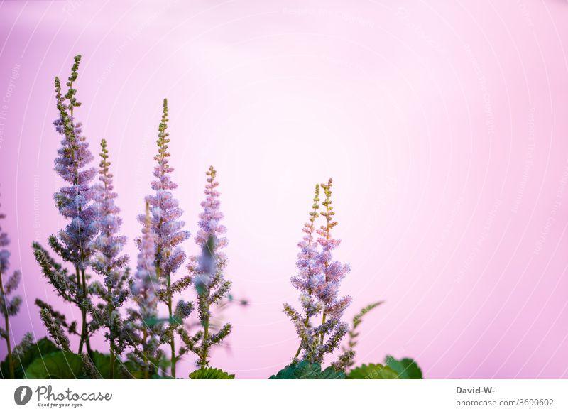rosa Blumen vor rosa Hintergrund Stauden Blüten Blumenpracht Frühling Textfreiraum Textfreiraum oben Hintergrund neutral Platzhalter schön stimmungsvoll Gefühle